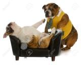 11933993-lazy-dog-bulldog-inglese-in-piedi-cercando-di-svegliare-un-altro-posa-sul-divano
