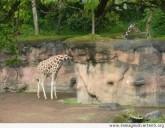 il-lungo-collo-della-giraffa